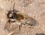 Frühlings-Seidenbiene:  Aiwok, CC BY-SA 2.0