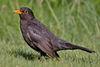 Common Blackbird.jpg