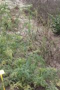 Eine 1,20 m hohe Pflanze im JKI-Unkrautgarten. (Bild: W. Wohlers, JKI)