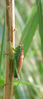 Conocephalus dorsalis