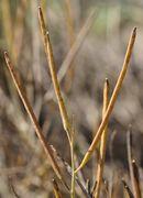 Die Schoten können über 10 cm lang werden. (Bild: W. Wohlers, JKI)