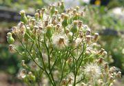 Viele kleine Blüten- bzw. Samenkörbe. (Bild: Arno Littmann, JKI)