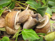 Copulating Burgundy Snails.jpg
