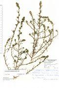Corispermum leptopterum: Berlin-Wedding, leg. K. Farenholtz (Herb. MSTR) (Foto: Rolf Wißkirchen)