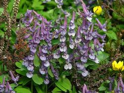 Gefingerter Lerchensporn: Blüte– Kor!An (Андрей Корзун), CC BY-SA 3.0