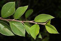 Cotoneaster acuminatus (19.08.2010, Indien, Uttarakhand: Darma Valley; Foto: W. B. Dickoré, CC by-nc-sa)