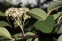 Cotoneaster frigidus (15.08.2010, Indien, Uttarakhand: Darma Valley; Foto: W. B. Dickoré, CC by-nc-sa)
