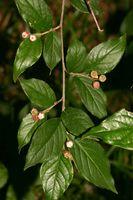 Cotoneaster moupinensis (28.05.2009, Deutschland, Bayern: München-Neuperlach; Foto: W. B. Dickoré, CC by-nc-sa)