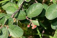 Cotoneaster tomentosus (14.06.2009, Deutschland, Bayern: Lengries, Langleger; Foto: W. B. Dickoré, CC by-nc-sa)