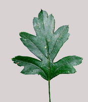 Crataegus monogyna single leaf grey background JR Press 576a.jpg
