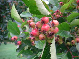 Crataegus persimilis fruits JR Press 818.JPG