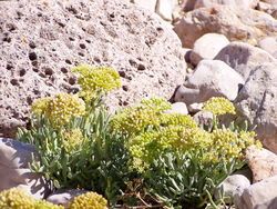 alt=Description de l'image Crithmum maritimum.jpg.