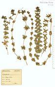 Cruciata laevipes: Saarland, Merzig, leg. Schuler (Herb. NHV) (Foto: NHV Bonn)