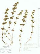 Cruciata verna: Frankreich, Canigou, leg. Kircher (Herb. MSTR) (Foto: Rolf Wißkirchen)