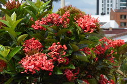 alt=Description de l'image Cruz de Malta - Coralillo (Ixora coccinea) (14228635149).jpg.