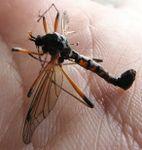 Totes Tanyptera atrata ♂♂