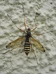 Ctenophora flaveolata ♀♀