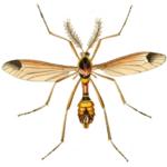 Ctenophora ornata ♂♂