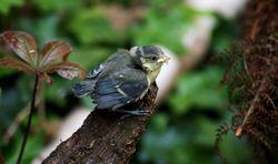 Blaumeise: juvenil - Dave Howes, CC BY-SA 2.0