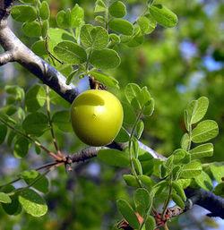 alt=Description de l'image Cyrtocarpa edulis-- Wild Plum (27800292782).jpg.