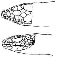 Kopf der Waldeidechse von oben und von der Seite (Dürigen 1897)