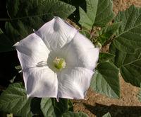 Datura wrightii flower 2002-10-08.jpg
