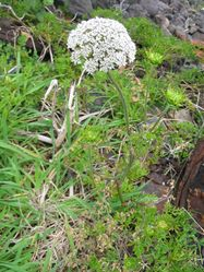 Wilde Möhre: Pflanze– Ixitixel, CC BY-SA 3.0