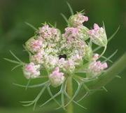 Die weißen Blüten sind häufig rosa gefärbt. Im Zentrum sitzt hier eine sehr große, dunkelviolette Zentralblüte. (Bild: W. Wohlers, JKI)