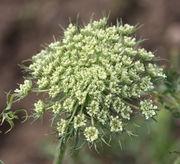 Bei der Kulturform ssp sativum gibt es allerdings noch mehr Döldchen. (Bild: W. Wohlers, JKI)