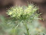 Auch dies ist ssp sativum. Wie lang die Tragblätter sind ist sortenabhängig. (Bild: W. Wohlers, JKI)