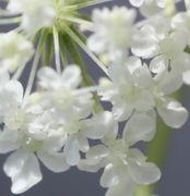 Pro Blüte jeweils zwei Narben. (Bild: W. Wohlers, JKI)