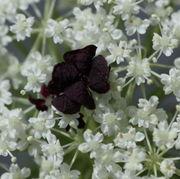 Häufig ist die Zentralblüte auch größer als die normalen weißen. (Bild: W. Wohlers, JKI)