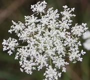 Die Dolden müssen keine dunkle Zentralblüte haben. Weiße Hüllblätter bei den Döldchen. (Bild: W. Wohlers, JKI)