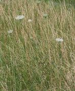 Eine 1,5 m hohe Pflanze im hohen Gras. (Bild: W. Wohlers, JKI)