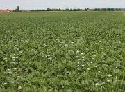Hier ist die Wilde Möhre in ein Zuckerrübenfeld eingewandert. (Bild: W. Wohlers, JKI)