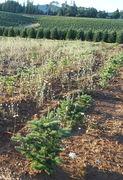 Im Christbaum-Anbau in den USA wird sie in jungen Plantagen bekämpft, da sie den kleinen Bäumen Konkurrenz um Wasser und Licht macht. (Bild: W. Wohlers)