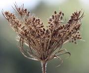 Bei Trockenheit öffnet sich die Dolde mit den reifen Samen. (Bild: W. Wohlers, JKI)