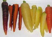 Gemüse-Karotten mit gelber oder dunkelvioletter Farbe. (Bild: W. Wohlers, JKI)