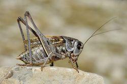 Warzenbeißer: Männchen - Gilles San Martin, CC BY-SA 2.0