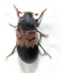 Gemeiner Speckkäfer: Alttier (adult) - André Karwath aka Aka, CC BY-SA 2.5