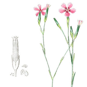 Oberer Teil der Heidenelke (Dianthus deltoides L.) mit Kelch und Samen—Abbildung aus Reichenbach & Reichenbach (1844)