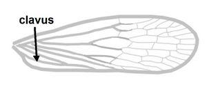 Dictyopharidae Vorderflügel