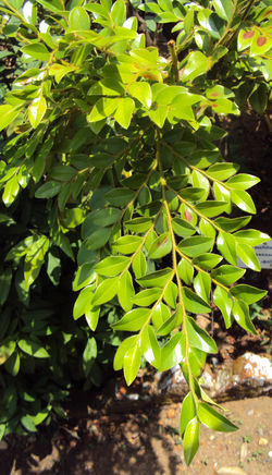 alt=Description de l'image Diospyros buxifolia.jpg.