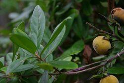 alt=Description de l'image Diospyros dichrophylla00.jpg.