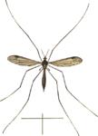 Dolichopeza albipes ♀♀