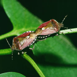 Paarung der Beerenwanze (Dolycoris baccarum) - by Olaf Leillinger on 1998-05-01