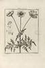 Doronicum columnae.png