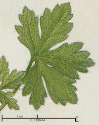 Drawing of leaves of Geranium divaricatum Ehrh. (Sturm et al. 1902, plate 5, with scale).png