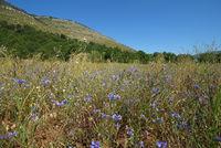 Lebensraum der Kornblume, Centaurea cyanus (Foto Bruno Petriglia 2009)
