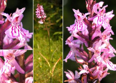 Blüten, ganze Pflanze und Blütenstand (Fotos Andrea Moro)